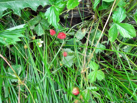 Wilde Erdbeere