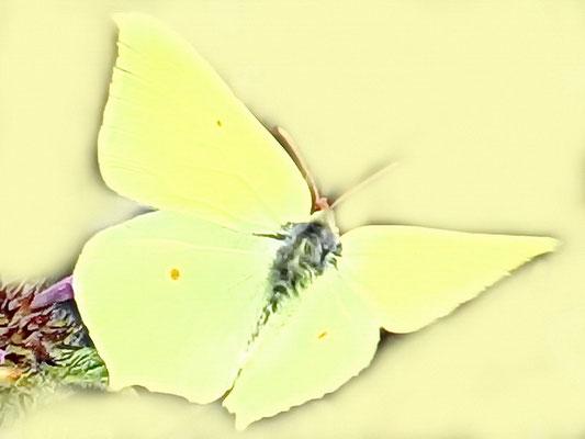 Zitronenfalter (w)
