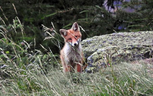 Fuchs (Welpe)