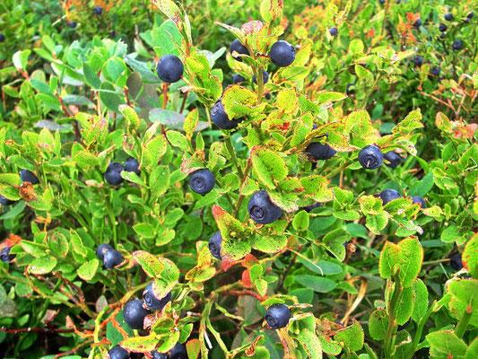 Heidelbeere auch Blaubeere genannt