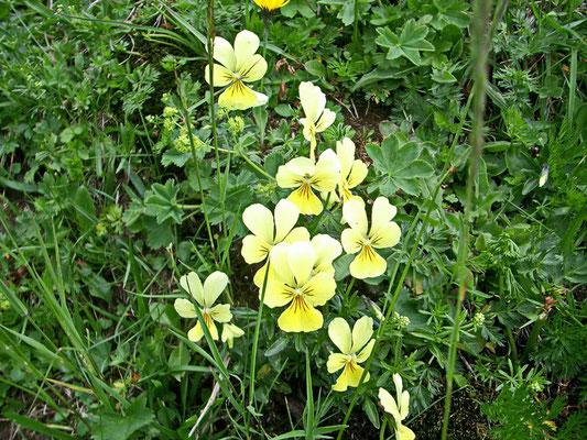 Gelbes Alpen-Veilchen