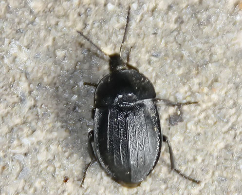 Aaskäfer Silpha tristis