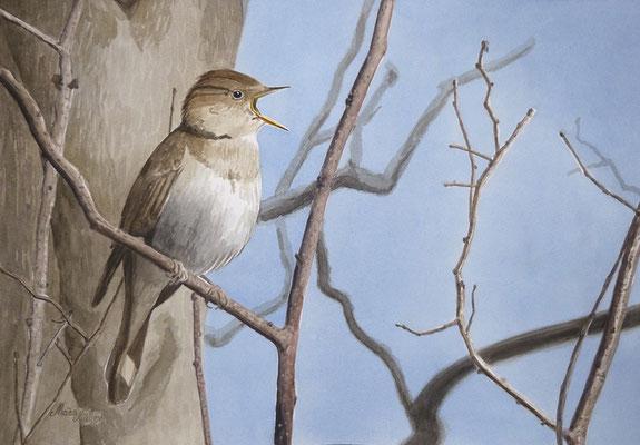 MatsMüller, Näktergal, Thrush Nightingale, 40x30cm