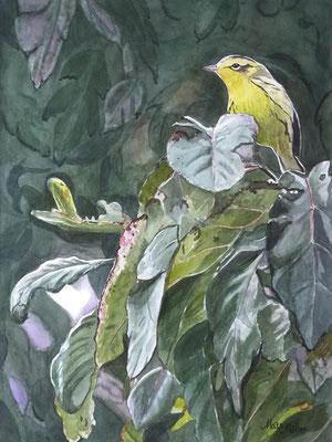 MatsMüller, Orangestrupig skogssångare, Blackburnian Warbler, 40x30cm