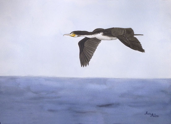 MatsMüller, Storskarv, Cormorant, 40x30cm