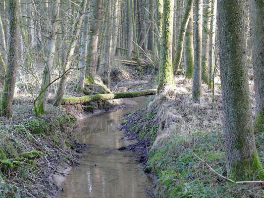 Moorwälder sind selten und fallen leider meist der Entwässerung zum Opfer.