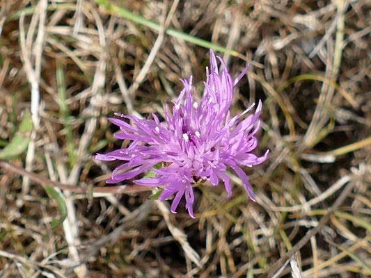 Die Flockenblume liebt kalkhaltigen Lehmboden