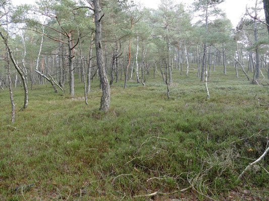 Nur Birken und Kiefern wachsen auf dem kargen sauren Boden.