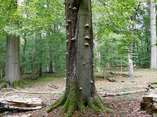 Sterbende Bäume bleiben der Natur erhalten