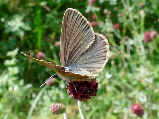 Ein weibliches Tier mit geöffneten Flügeln
