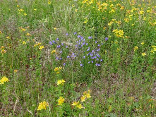 Rundblättrige Glockenblumen inmitten von Berg-Johanniskraut