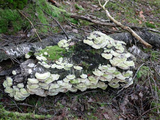 Wo Holz verrotten darf, können schöne Trameten wachsen.