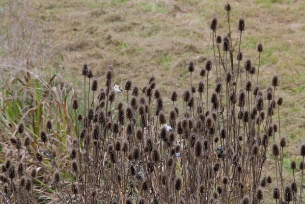 """Die reifen Samen der Karden sind eine beliebte Nahrung der """"Distelfinken""""."""