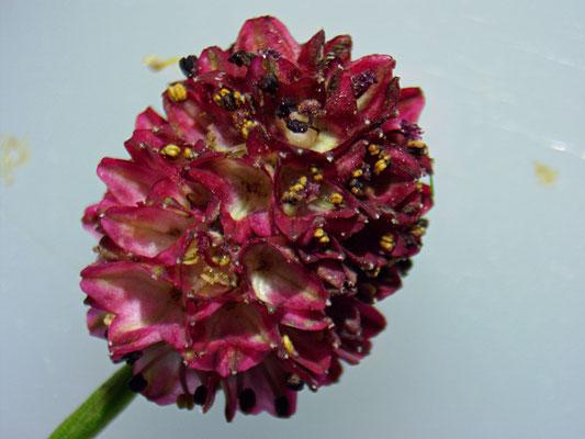In die Blütenköpfe des Großen Wiesenknopf legt der Ameisenbläuling seine Eier ab.