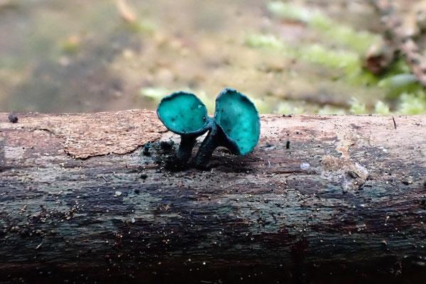 Pilze sind wichtige Organismen im Kreislauf der Natur, die durch Fungizide geschädigt werden.