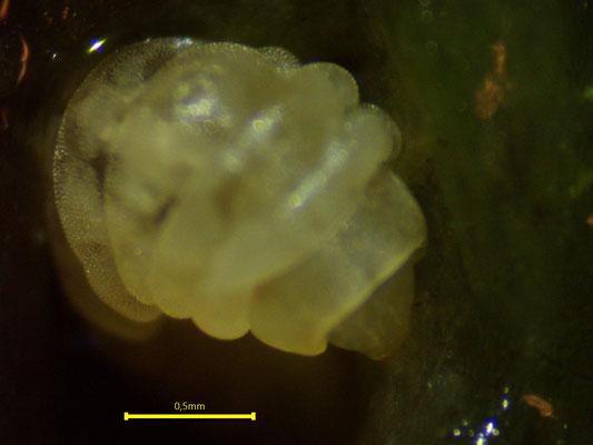 Bild 16 Sie schabt an Oberfläche einer Sphagnum-Pflanze