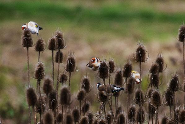 Auf der suche nach den Samen klettern sie geschickt durch das Pflanzendickicht.