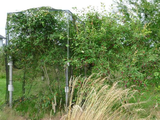 Eine Felsenbirne mit Vogelschutznetz; die Zweite bleibt offen für die Vögel