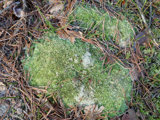 Das Gemeine Weissmoos ist besonders geschützt und darf nicht aus der Natur entnommen werden.