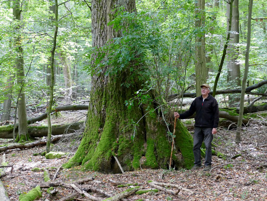 Manfred Großmann präsentiert die dickste Esche des Nationalparks (BHD =1,48m; h=47m)