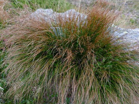 Die Dreiblättrige Binse eine Pflanze der Hochlagen des Bayerischen Waldes