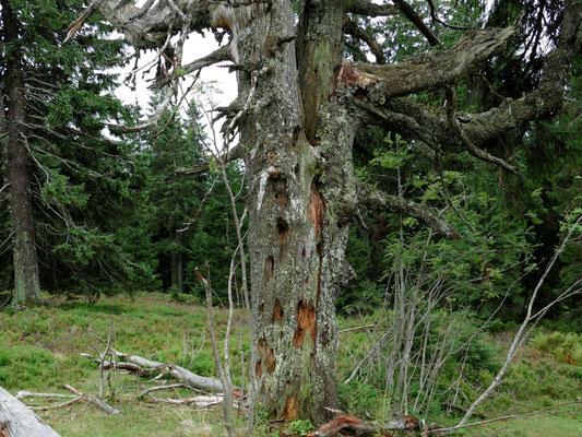 Ein alter Baum mit den Bearbeitungsspuren eines Spechtes