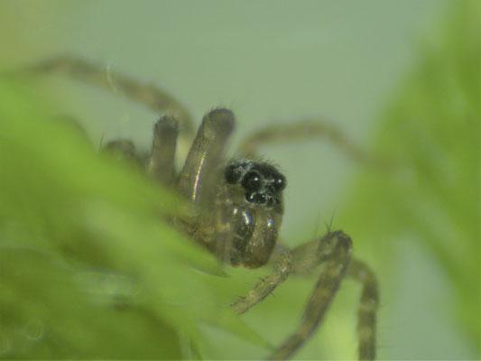 Bild 3 Die Augen der Spinne