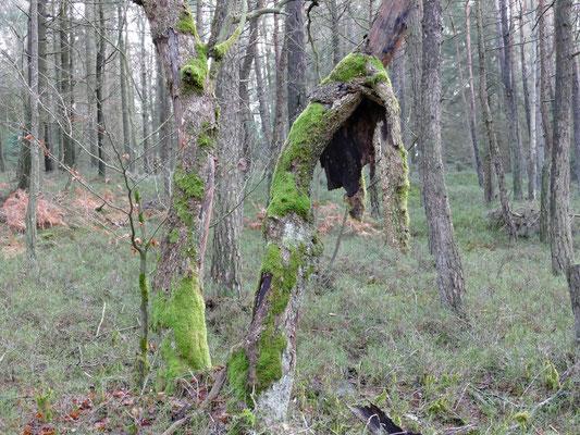 Ein naturbelassener Wald kann märchenhaft sein.