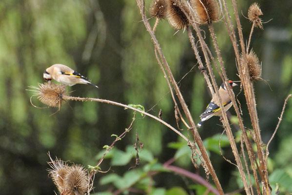 Ihr langer spitzer Schnabel ist ein hervorragendes Werkzeug zum Herausklauben der feinen Samen.