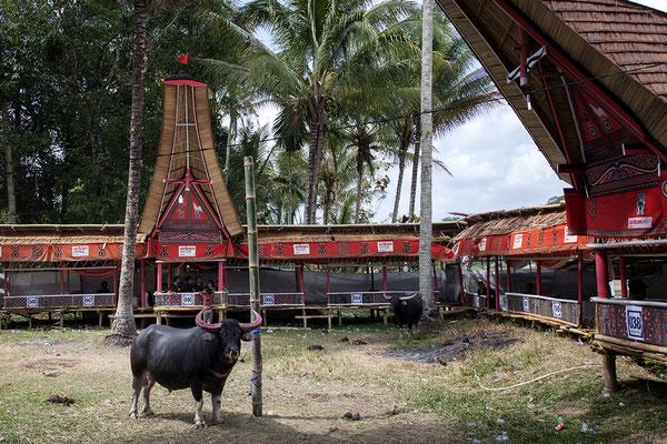Beerdigungszeremonie im Toraja Land auf Sulawesi, Indonesien