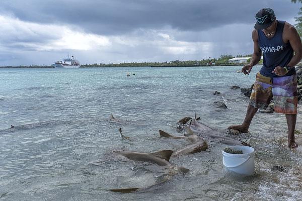 Füttern der Zitronenhaie