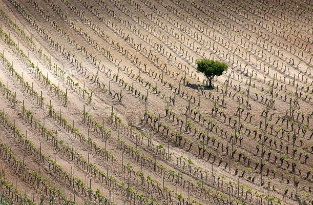 Weinanbau auf Sizilien Italien