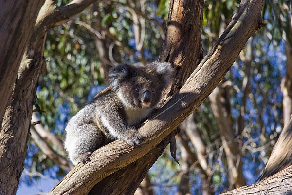 Koala im Great Otway National Park, Australien