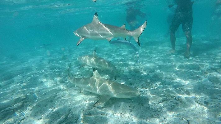 Schnorcheln mit Haien in der Lagune von Bora Bora