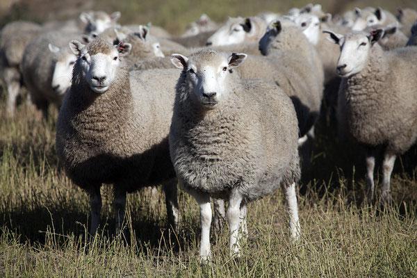 Schafe auf neuseeländischen Weiden, Neuseeland