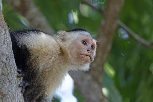 Kapuziner Affe im Cahuita National Park Costa Rica