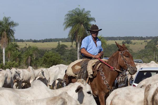 Gaucho einer Fazendas mit seinen Rindern