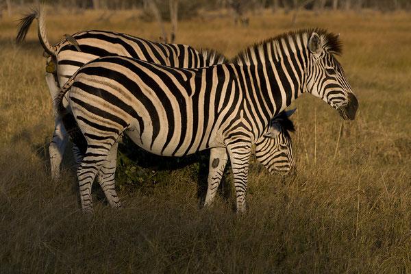 Zebras im Ethosha Nationalpark Namibia