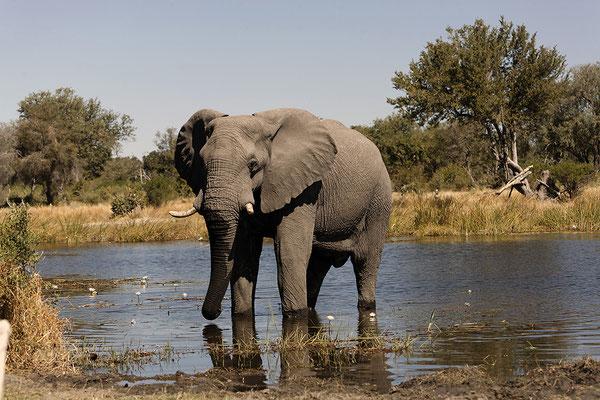 Elefant im Kwai River/ Botswana