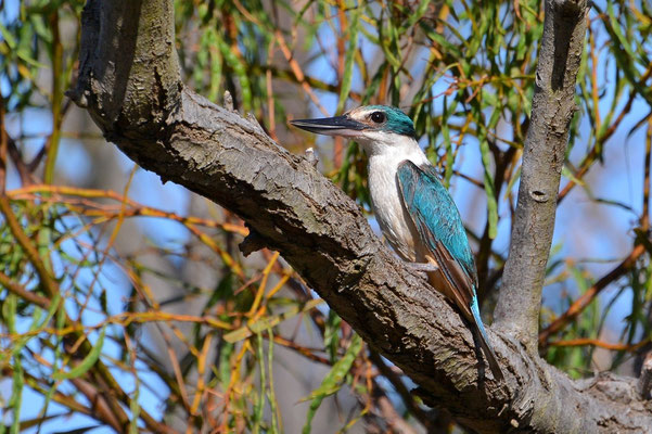 Australien, Australia, Westaustralia, Western Australia, Landschaft, Vogel, Blau, Weiss, Sacred Kingfisher