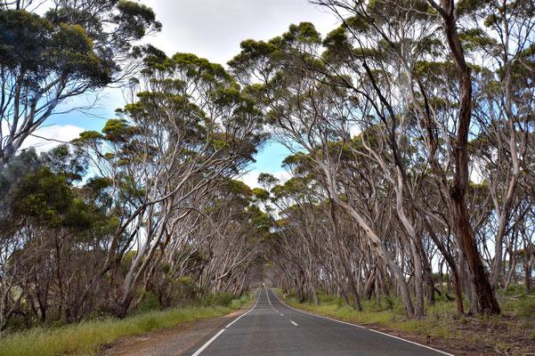 Australien, Australia, South Australia, Kangaroo Island, Landschaft, Strasse, Tunnel, Bäume