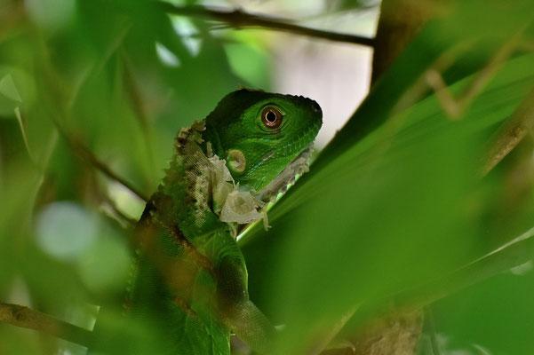 Pura Vida - Costa Rica - Fauna - Leguan - Grün