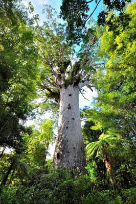 Neuseeland, Nordinsel, Wald, Kauri, Ältester Baum, Waipapa Kauri Forest