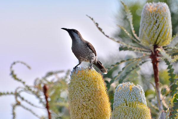 Australien, Australia, Westaustralia, Western Australia, Landschaft, Banksia, Vogel