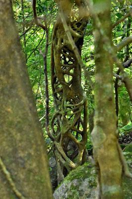 Pura Vida - Costa Rica - Pflanzen - Blumen - Bäume - Würgebaum