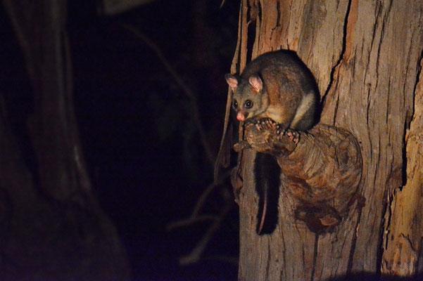 Australien, Australia, South Australia, Kangaroo Island, Landschaft, Nacht, Wanderung, Possum