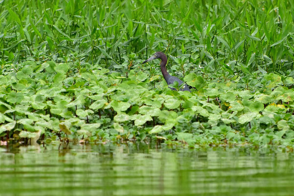 Pura Vida - Costa Rica - Fauna - Wasservogel