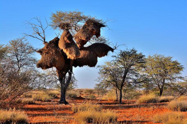 Namibia - Rundfahrt - Reise - Rundreise - Landschaft - Kalahari - Webervogelnest
