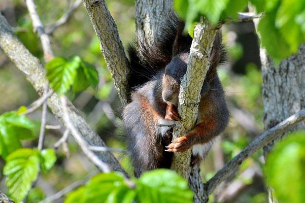 Foto - Eichhörnchen -schwarz - schlafen - auf dem Ast