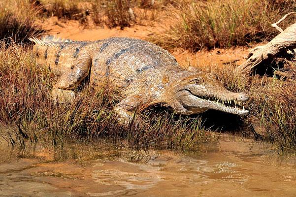 Australien, Australia, Nordaustralien, Northern Territory, Landschaft, Krokodil, Crocodile, Nitmiluk National Park